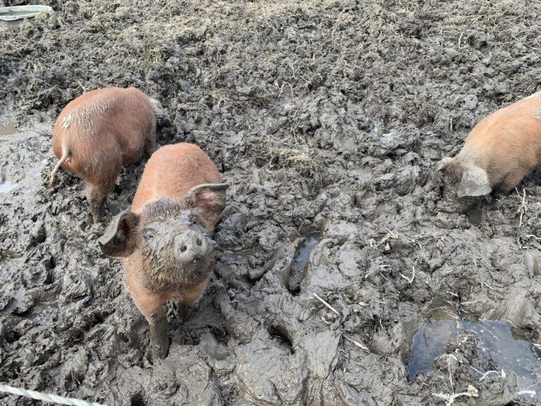 Varkens in toekomstig openbaar voedselbos Groningen