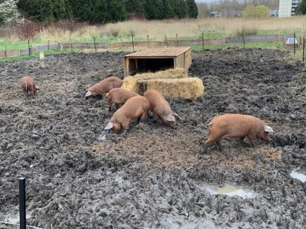 Varkens in toekomstig voedselbos Westpark Groningen- duurzaam project PlukN