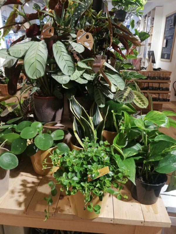 Planten kopen bij de leukste plantenwinkel in Groningen: Dille en Kamille